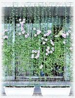 アサガオの緑のカーテン