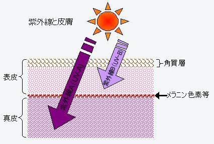 紫外線と皮膚