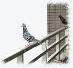 ベランダに飛来する鳩